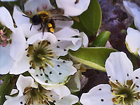 Macro shot of a wild bee on pretty, white pear blossom.