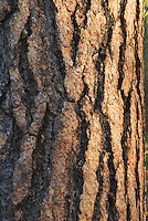 Ponderosa Pine (Pinus ponderosa) Deschutes National Forest Oregon
