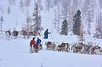 Mongolie, province de Khovsgol, les Tsaatans, éleveurs des rennes, transhumance hivernale // Mongolia, Khovsgol privince, the Tsaatan, reindeer herder, winter migration