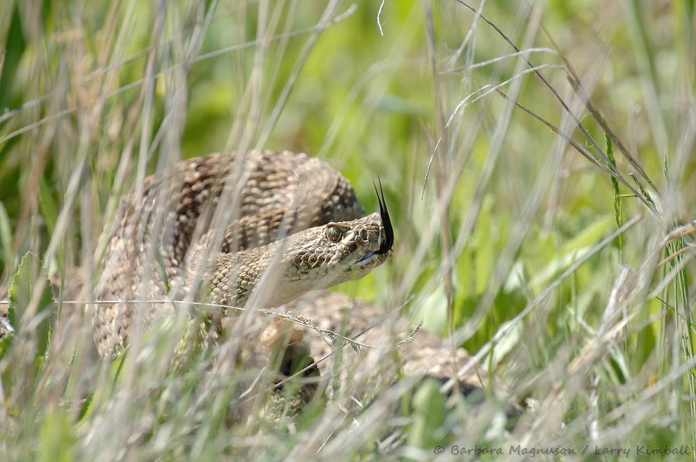 Western Prairie Rattlesnake [Crotalus viridis] hiding in tall grass; Cimarron National Grassland; Kansas