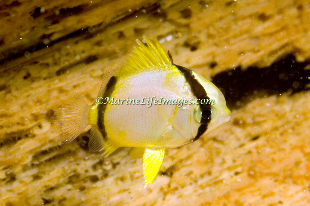 Spotfin Butterflyfish flit about reef tops, often in pairs in Tropical West Atlantic; picture taken St. Vincent.