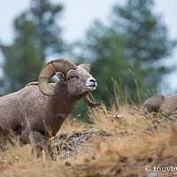 young bighorn ram rutting