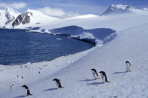 Adelie Penguin, (Pygoscelis adeliae) Along shores of Laurie Island. South Orkney Island chain. Antarctica.