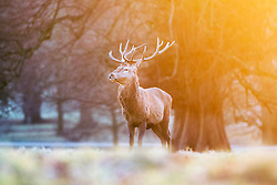 © Licensed to London News Pictures. 05/01/2017. Ripon UK. Deer at Studley Royal Park near Ripon in Yorkshire at a frosty but bright sunrise this morning. Photo credit: Andrew McCaren/LNP