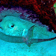 Porcupinefish inhabit reefs, often hovering in open water, occasionally near cave openings and recesses in Tropical West Atlantic, also circumtropical; picture taken Grand Cayman.