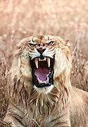 A closeup portrait of a Liger which is a cross between a male lion and a female tiger.