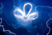 UNDERWATER MARINE LIFE CARIBBEAN, generic Jellyfish Aurelia aurita