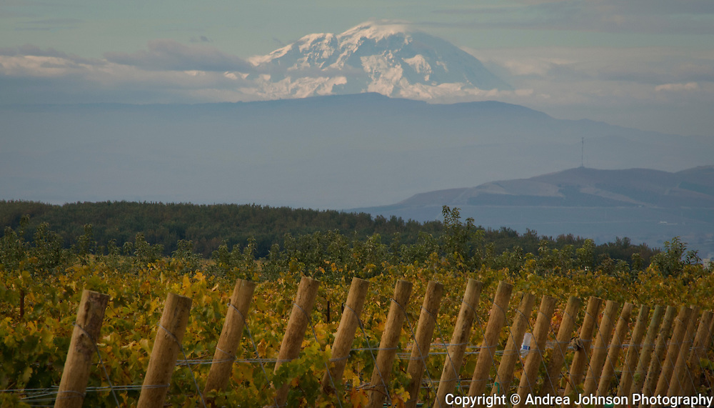 Mt. Adams looming over Dick Boushey's syrah vineyard, Yakima Valley, Washington