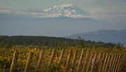 Mt. Adams looming over Dick Boushey's syrah vineyard, Yakima Valley, Washington