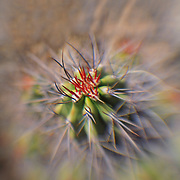 Cacti - Lensbaby - Joshua Tree National Park
