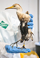 WIldlife Center of Texas cleaning  oiled birds rescued after an oil spill in the Mississippi River in Aug 2008.