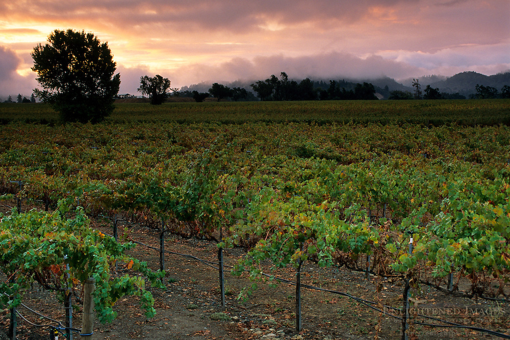 Storm clouds at sunrise over vineyard in the Russian River Valley, Sonoma County, California