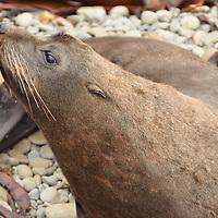A New Zealand Fur Seal (Arctocephalus forsteri) outside of Kaikoura, NZ.