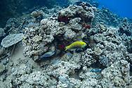 Parrotfish-Poisson-perroquet (Cetoscarus bicolor), Red Sea, Sudan.
