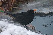 Tijdens strenge winterperiode maken de vogels in de tuin gretig gebruik van de kunstmatig (met een aquariumluchtpompje) opengehouden vijver.