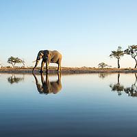 Africa, Botswana, Chobe National Park, African Elephant (Loxodonta africana) drinking at edge of water hole in Savuti Marsh