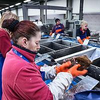 Nederland, Den Helder, 18 maart 2016.<br /> Visafslag bij Den Helder.<br /> De verse vis wordt geselecteerd en schoongemaakt voordat het verhandeld wordt.<br /> <br /> The Netherlands, Den Helder, 18 march 2016<br /> Fish processing for auction in Den Helder.The fresh fish is selected and cleaned before it is marketed.<br /> <br /> <br /> Foto: Jean-Pierre Jans