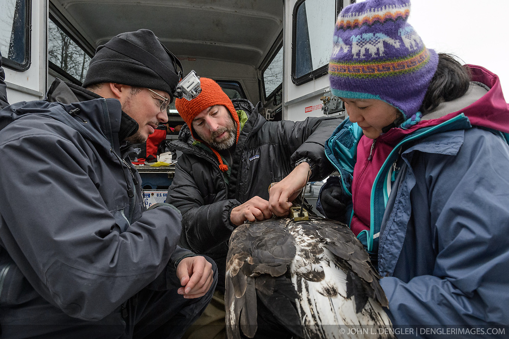 "Steve Lewis, Raptor Management Coordinator, U.S. Fish & Wildlife Service (center), attaches a solar-powered GPS satellite transmitter (also known as a PTT - platform transmitter terminal) to the back of a bald eagle (Haliaeetus leucocephalus) using a lightweight harness. Assisting Lewis with the attaching of the GPS satellite transmitter by holding the eagle is Yiwei Wang, graduate student, University of California Santa Cruz (right). Dr. Scott Ford, avian veterinarian, Avian Speciality Veterinary Services of Alaska (left), films the procedure using a Go-Pro camera. The eagle, captured in the Alaska Chilkat Bald Eagle Preserve will be tracked by Rachel Wheat, a graduate student at the University of California Santa Cruz. Wheat is conducting a bald eagle migration study of eagles that visit the Chilkat River for her doctoral dissertation. She hopes to learn how closely eagles track salmon availability across time and space. The latest tracking location data of this bald eagle known as ""2Z"" can be found here: http://www.ecologyalaska.com/eagle-tracker/2z/ . During late fall, bald eagles congregate along the Chilkat River to feed on salmon. This gathering of bald eagles in the Alaska Chilkat Bald Eagle Preserve is believed to be one of the largest gatherings of bald eagles in the world."