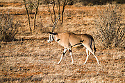 Male East African Oryx (Oryx beisa) also known as the beisa photographed in Tanzania