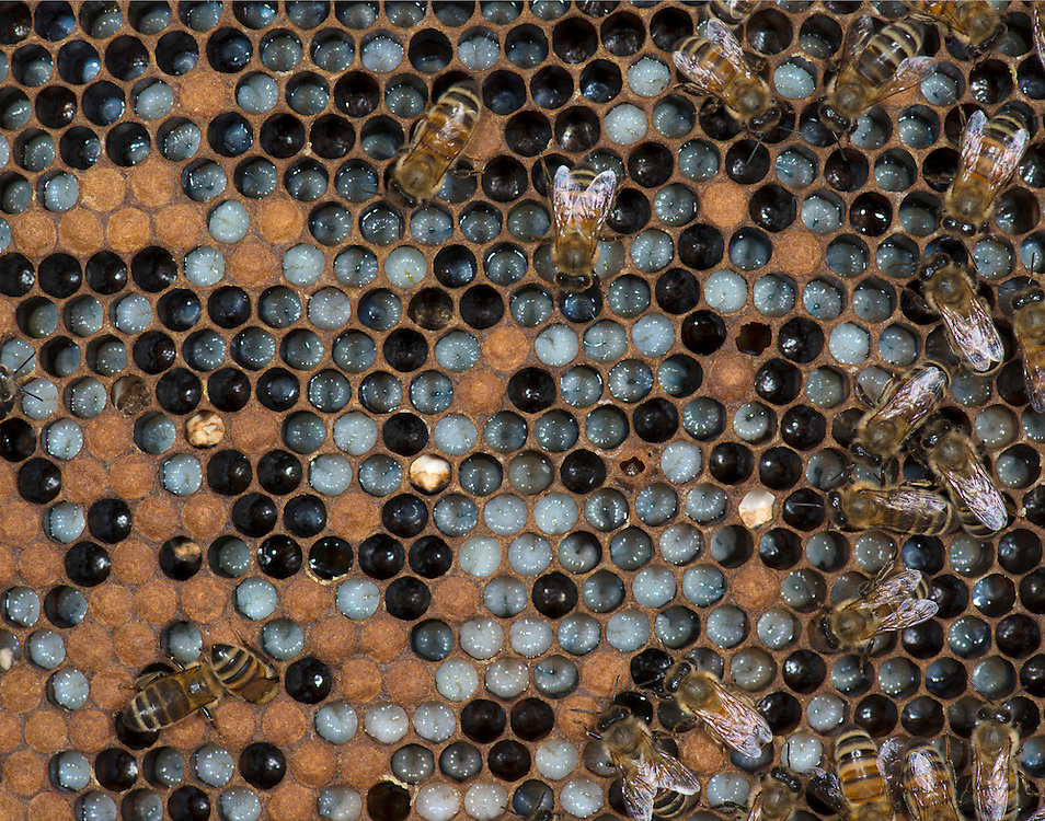 European honey bee (Apis mellifera), larvae, Captive,  credit: Palo Alto JMZ/M.D. Kern