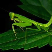 Hierodula sp. mantis at Khao Ang Rue Nai wildlife sanctuary, in Chachoengsao province, Thailand