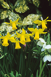 Narcissus 'February Gold' with Hellebores and Aucuba japonica 'Crotonifolia' at Great Dixter