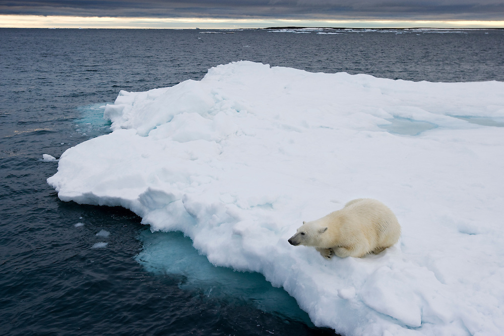 Norway, Svalbard, Polar Bear (Ursus maritimus) resting on melting iceberg near Half Moon Island on summer evening