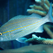 Tomtate inhabit reefs in Tropical West Atlantic; picture taken Key Largo, FL.