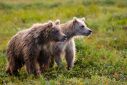 Young Alaskan Costal Brown Bear pair standing in tundra flowers