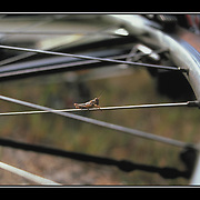"Bicycling Postcard - Spokes-hopper. Suitable for use on a 4.25"" x 6"" printed postcard."