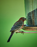 House Finch at the Bird Feeder. Image taken with a Nikon D4 camera and 600 mm f/4 VR telephoto lens