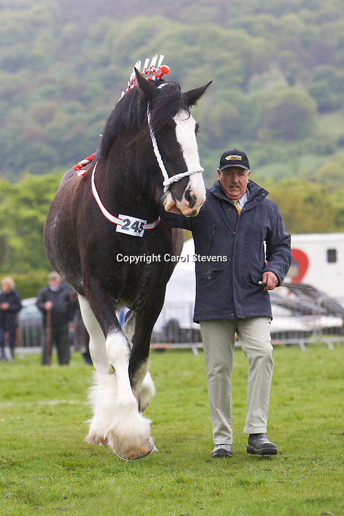 F & J Pickles' Cumeragh House Mary Beth    S Ithersay Joseph     Three Year Old Gelding or Mare Class