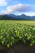 Taro Field, Hanalei Valley, Kauai, Hawaii