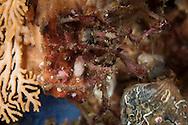 Pycnogonida sp. (Sea spider). Friday 04 April 2014<br /> Photograph Richard Robinson &copy; 2014<br /> Dive Number: 513<br /> Site: Southern End of Acheron Passage, Dusky Sound, Fiordland.<br /> Boat: Tutoko<br /> Dive Ian Skipworth<br /> Time: 09:31<br /> Temperature:  14.8<br /> Rebreather: Inspiration Vision. Total Time On Unit: 313:48 hh:mm<br /> Maximum Depth: 27.8 meters<br /> Bottom Time: 128 minutes<br /> Mix: 21<br /> CNS: 46%<br /> OTU: 44%<br /> Bottom Time to Date: 34,554 minutes<br /> Cumulative Time: 34,682 minutes