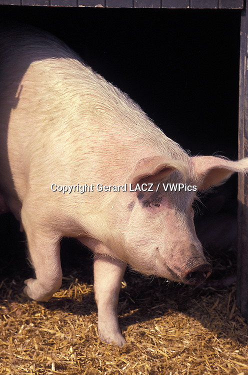 Large White Domestic Pig
