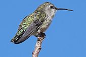 Hummingbird, Costa's / Calypte costae