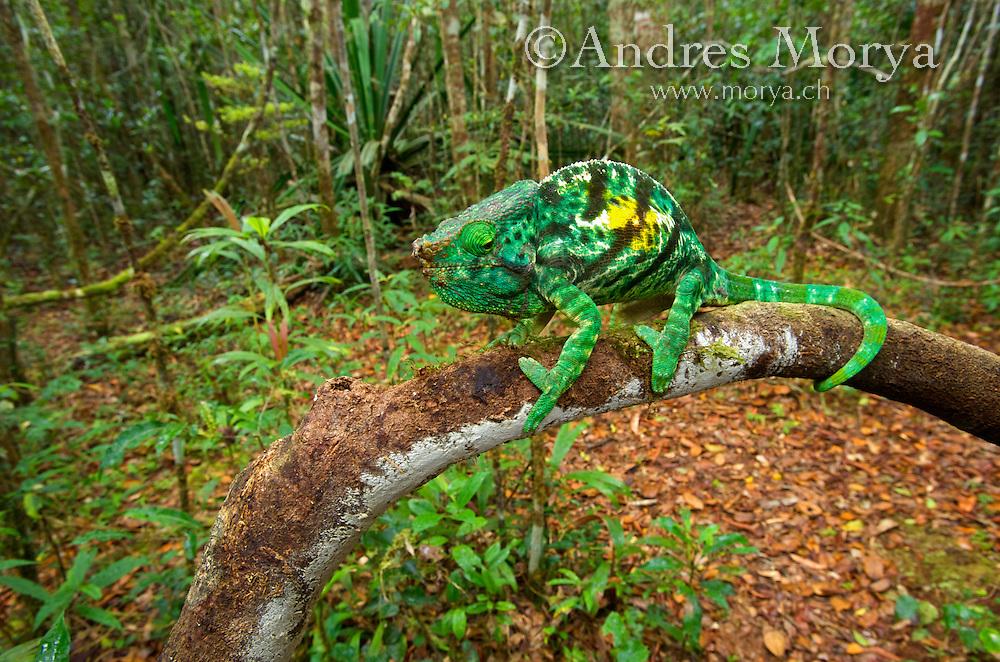 Parson's Chameleons, (Calumma parsonii). Andasibe-Mantadia National Park, Eastern-central Madagascar Image by Andres Morya