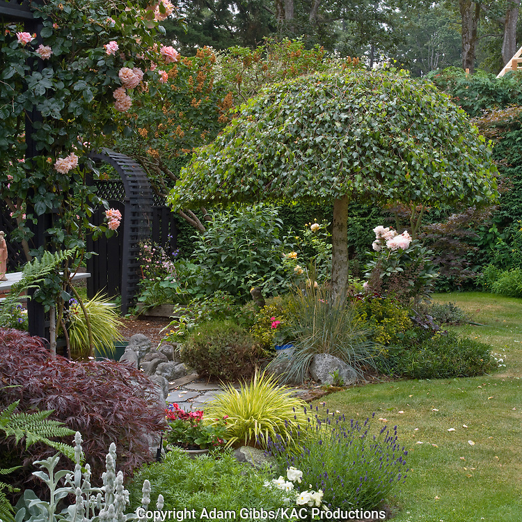weeping birch  and Compassion climbing rose