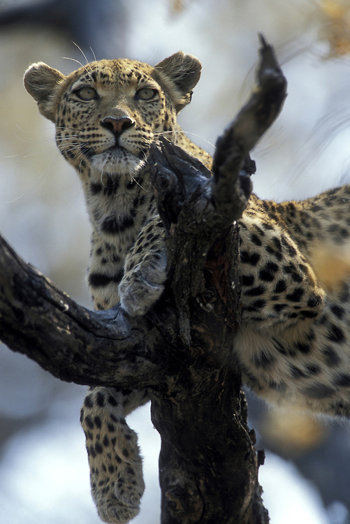 Botswana, Moremi Game Reserve, Adult Female Leopard (Panthera pardus) rests in branches of dead tree near Khwai River