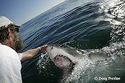 Shark Whisperer Andre Hartman tickles the snout of a great white shark, Carcharodon carcharias, to induce it to lift its snout out of the water and open its mouth, near Dyer Island, off Gansbaai, South Africa