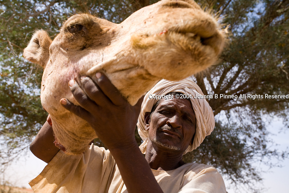 A member of the Shanabla tribe holds up a severed camel's head up. The camel will be the main course at this wedding celebration outside El Obeid, Sudan. On February 15, 2006. The Shanabla are nomads and have no lands of their own. They raise camels to sell at market and are dependant on other's lands for grazing.