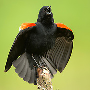 May 17, 2013 - Pleasant Hill, Kentucky, USA - A male red-winged blackbird vocalizes over his territory at Shaker Village. (Credit Image: © David Stephenson/ZUMA Press)