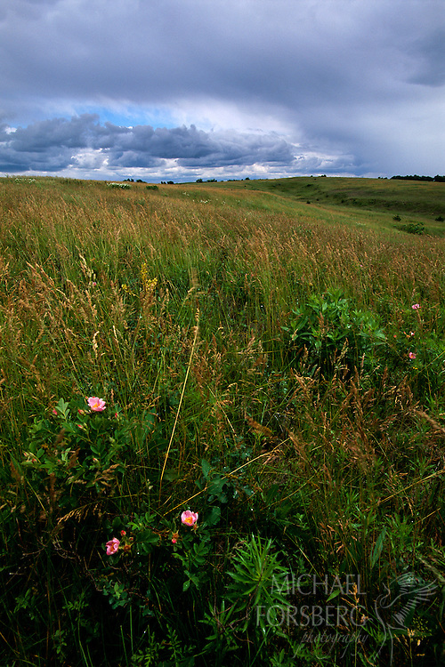 Willa Cather Memorial Prairie, Red Cloud, Nebraska.  Early season grasses and prairie wild rose bend in the wind as a morning thunderstorm begins to dissipate over Willa Cather Memorial Prairie, a Nature Conservancy Preserve in Webster County, just south of the famed Great Plains author's childhood home in Red Cloud. This rolling landscape along the Republican River valley in southern Nebraska shaped Cather's writings, and was often considered a character itself in many of her novels.