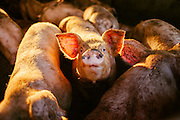 Pigs in the Midwest<br />