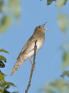 River Warbler - Locustella fluviatilis
