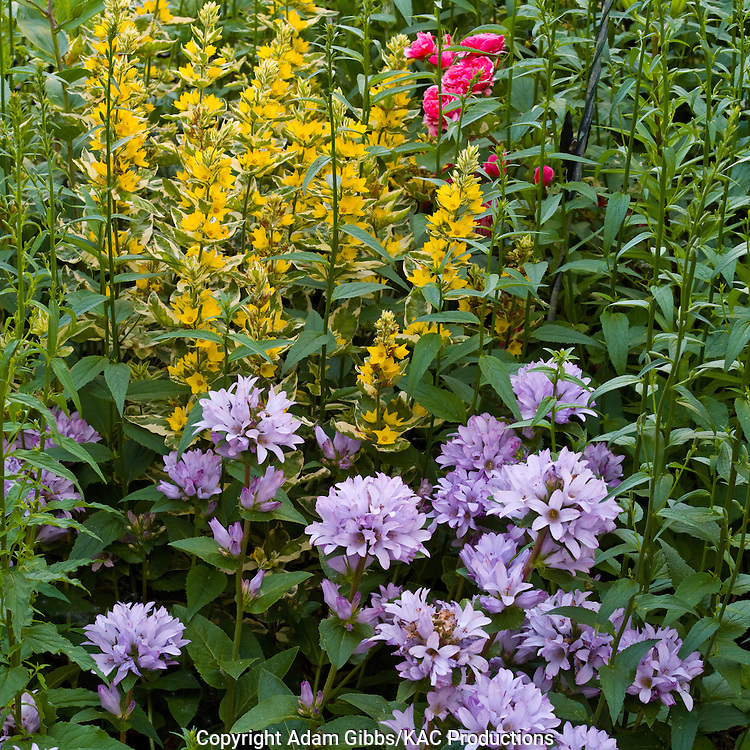 Lysimachia punctata and bellflower