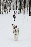 Husky walking and posing in the Snow on the trails in Mont Royal Park in Winter, Parc du Mont Royal, Montreal, Quebec, Canada