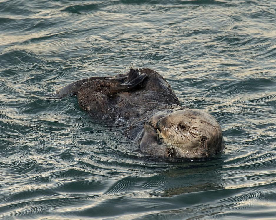 Sea otter (Enhydra lutris),  marine mammal, Morro Bay, California