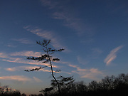 A tree is silhouetted against a dawn sky.  Cirrus clouds are tinted a pale magenta by the light of the rising sun.