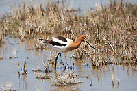 An American Avocet feeds on the side of a marsh pond sifting for midges and other aquatic insects.